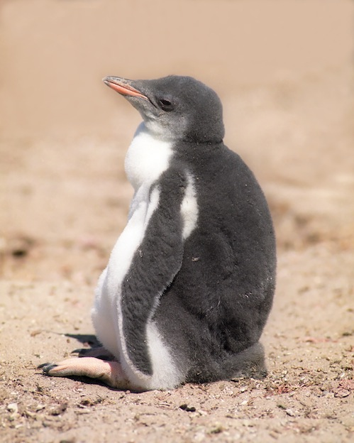 Penguin sexual behavior