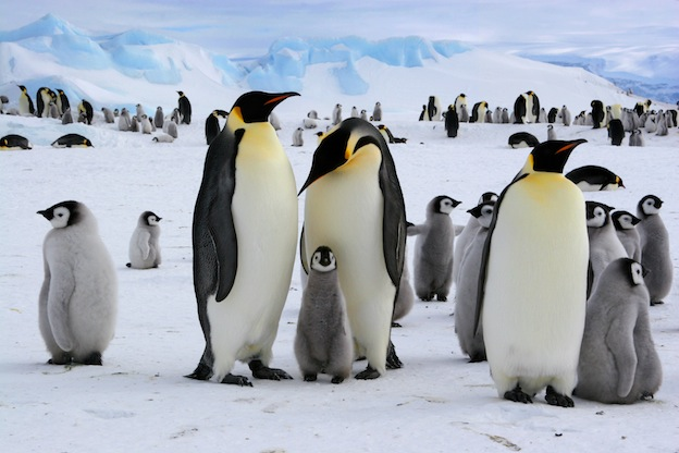 Emperor Penguin - Penguin Facts and Information