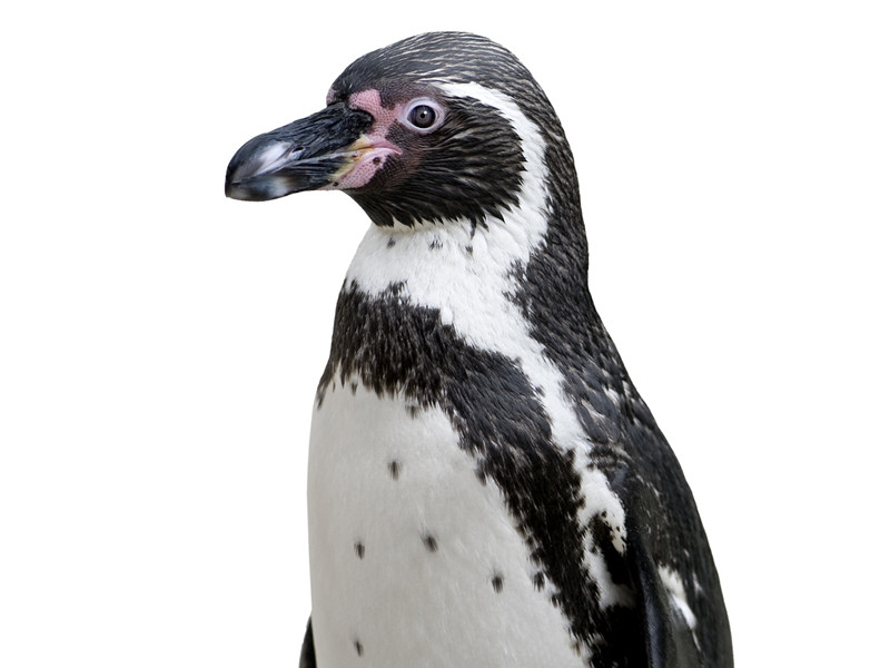 Humboldt Penguin Related Keywords & Suggestions - Humboldt Penguin ...
