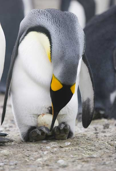 King Penguin with Egg - Penguin Facts and Information