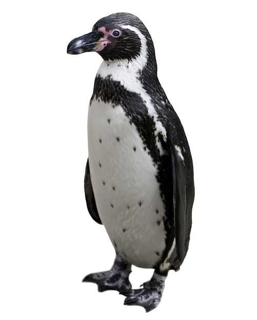 Humboldt Penguin - Penguin Facts and Information