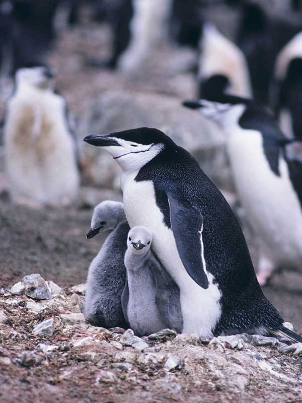 Characteristics of chinstrap penguin.
