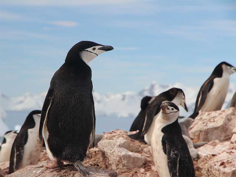 Information about chinstrap penguin