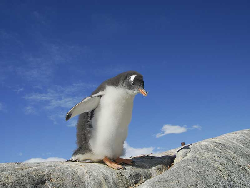 Information about gentoo penguin.