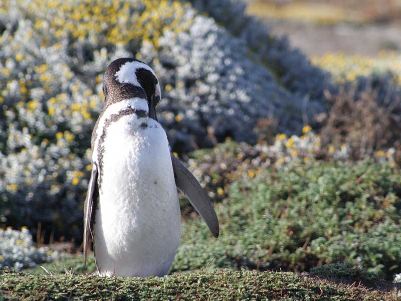 Characteristics of Magellanic penguin.
