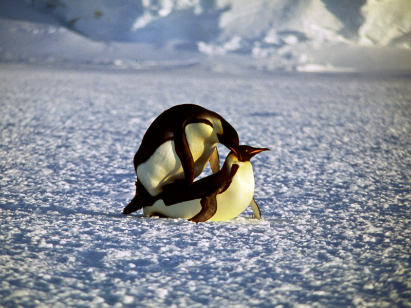 Mating of penguins.