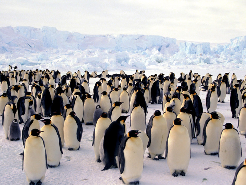 Social structure of penguins.