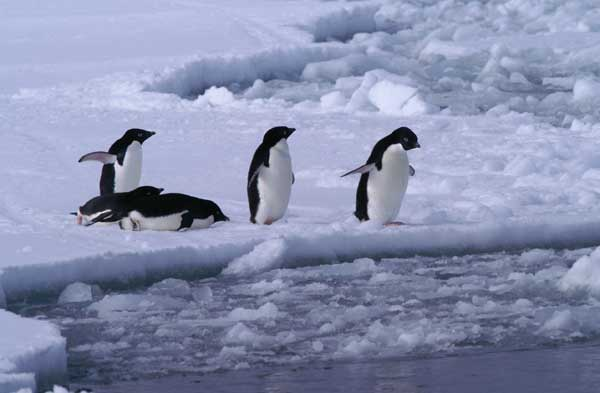 Adelie Penguins Jumping into the Water