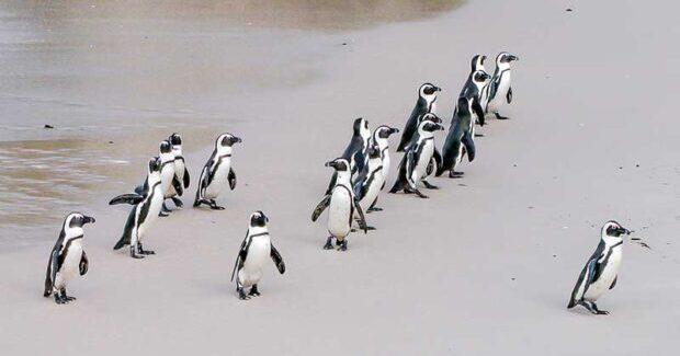 Where can Penguins be Found in South America?
