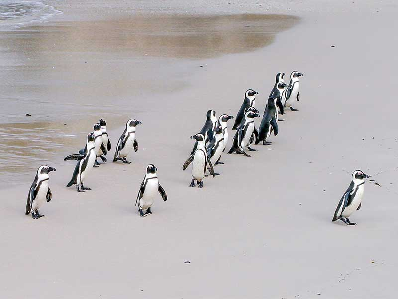 Characteristics of African penguins.