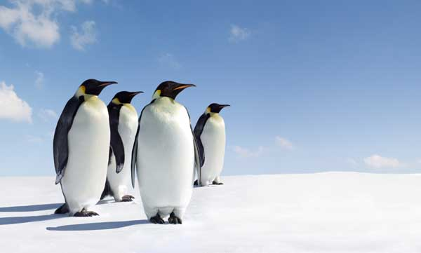 Emperor Penguins with Blue Sky