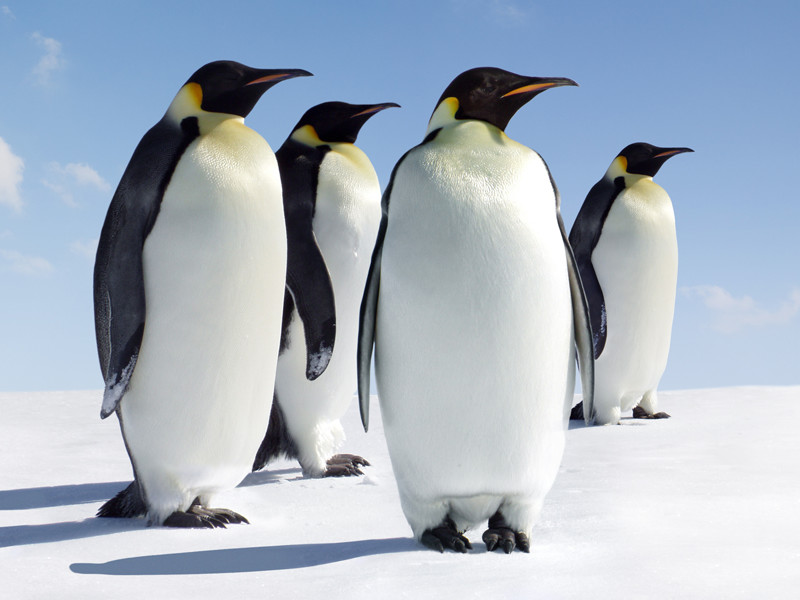 emperor penguin penguin facts and information