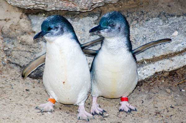 Little Blue Penguin Couple