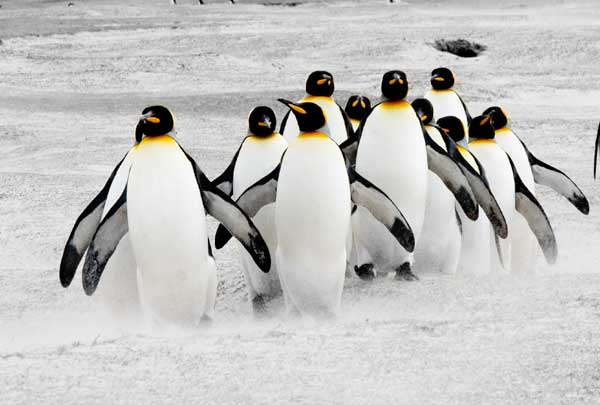 Penguins on the Move. - Penguin Facts and Information