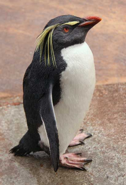 Rockhopper Penguin Looking