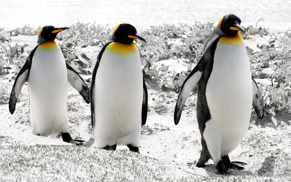 Three King Penguins in the Falkland Islands