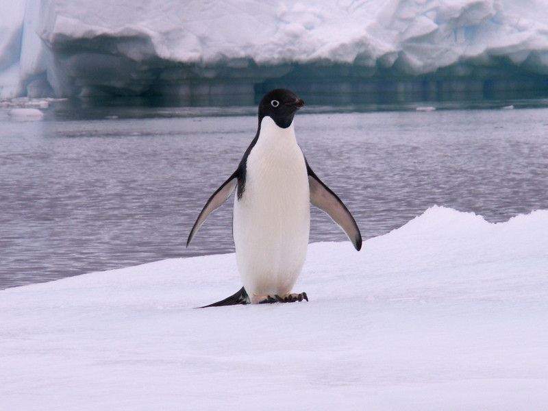 Adelie Penguin Penguin Facts And Information