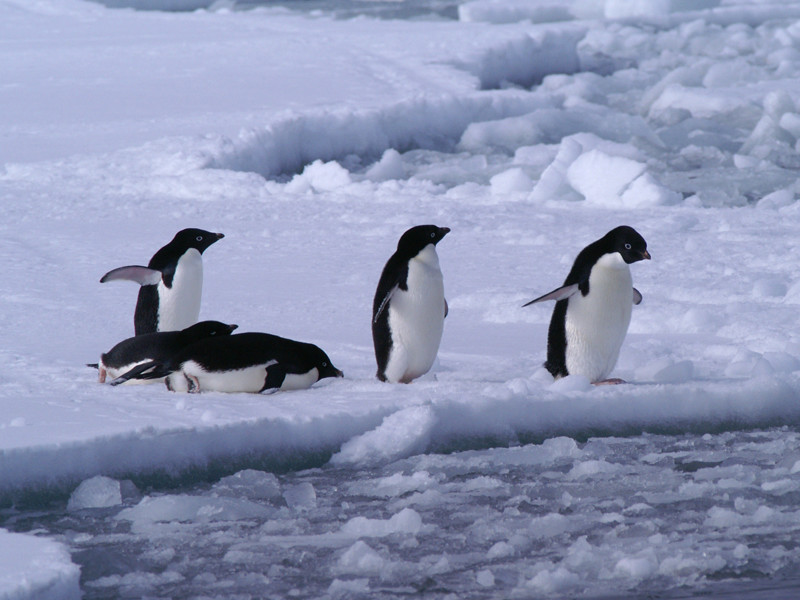 Information about Adelie penguin.