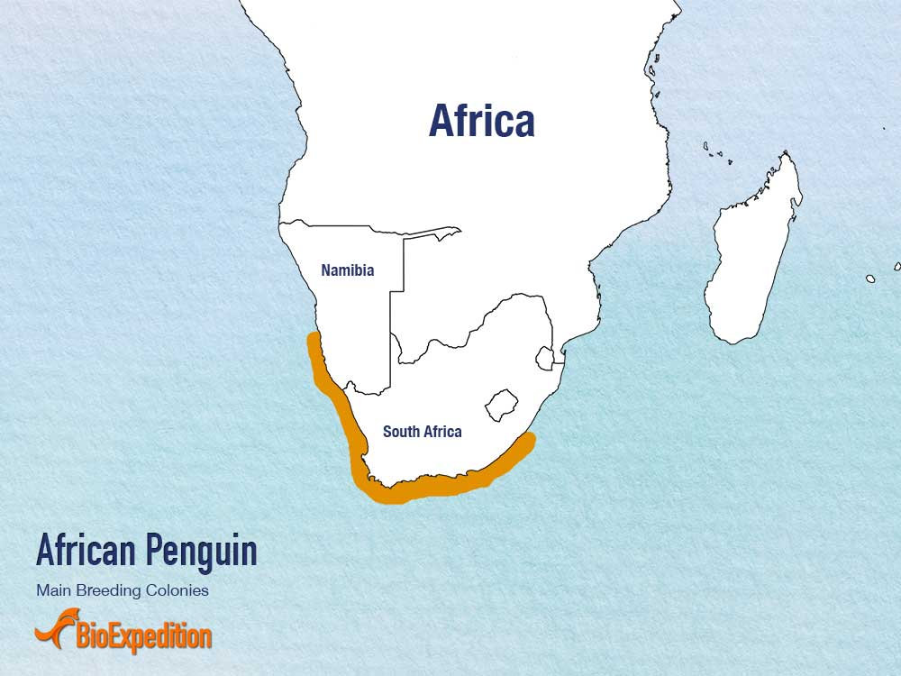 Distribution of African Penguin.
