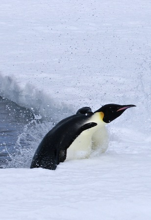 Emperor penguin jumping out of the water