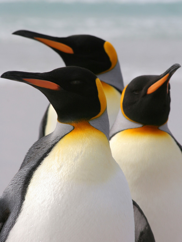 Information about king penguin.